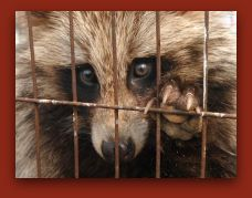 Caged Raccoon Dog