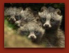 Raccoon Dogs